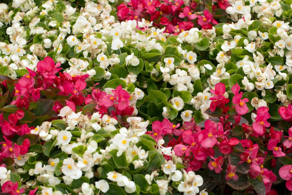 begonia astuces