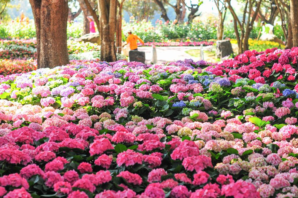 Comment bien planter un hortensia d broussaillez - Comment bouturer un hortensia ...