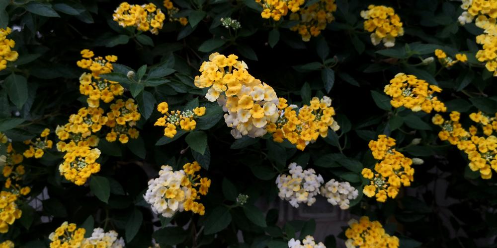 Belles fleurs de lantana