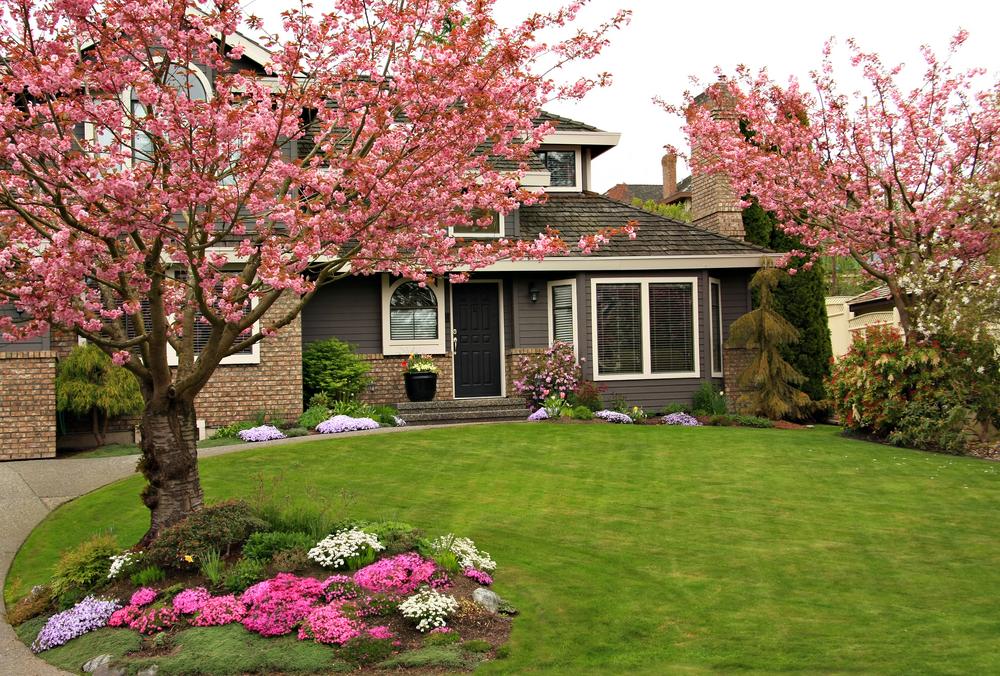 Cerisiers fleuris en isolement