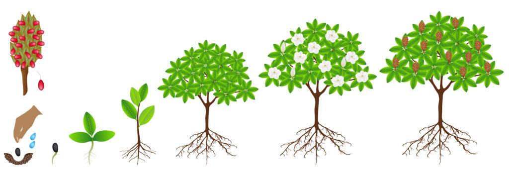 Plant, arbre, fleurs et fruits du Magnolia Grandiflora
