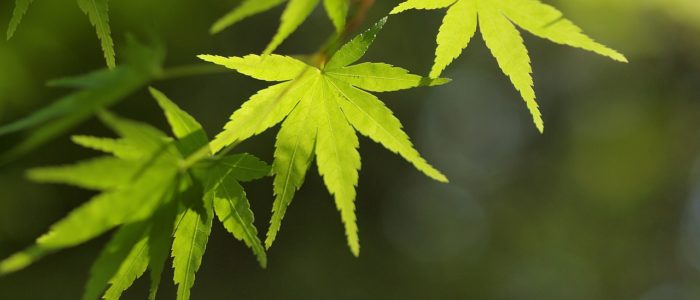 Érable au feuillage vert