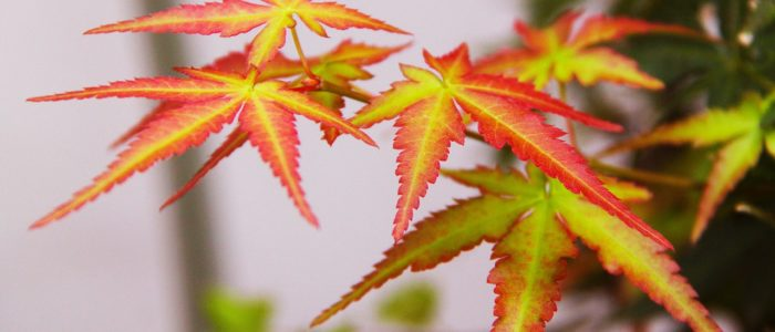 Érable du Japon au feuillage panaché