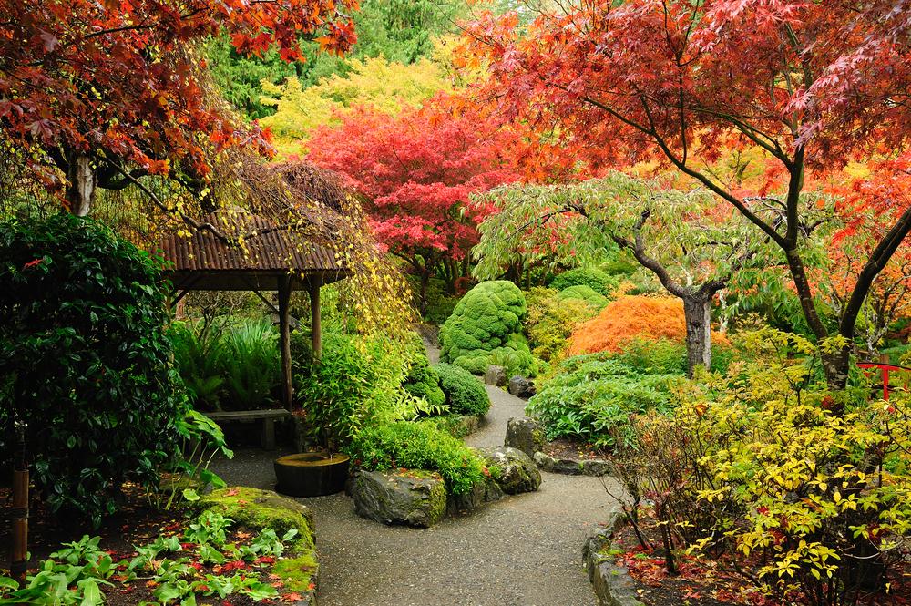 Érable de jardin japonais