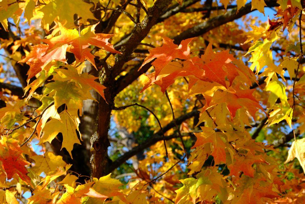 Érable du japon en automne