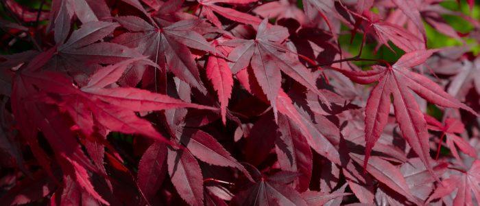 Feuillage rouge bordeaux de l'érable du japon