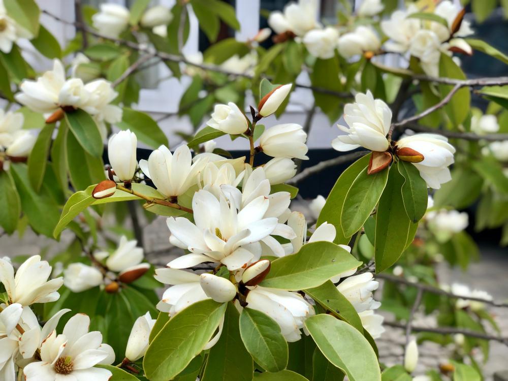 Floraison abondante du Magnolia Grandiflora