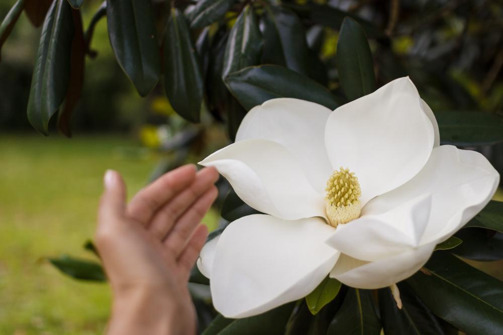Variété de Magnolia à grandes fleurs