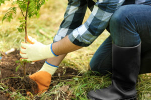 Plantation d'un arbre de jardin
