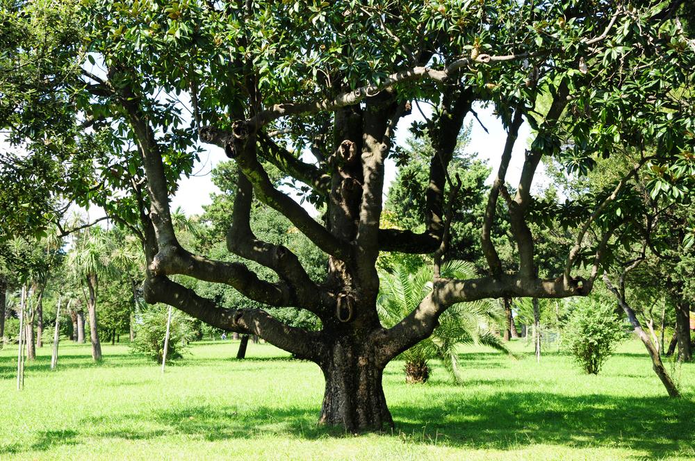 Arbre du Magnolia Grandiflora