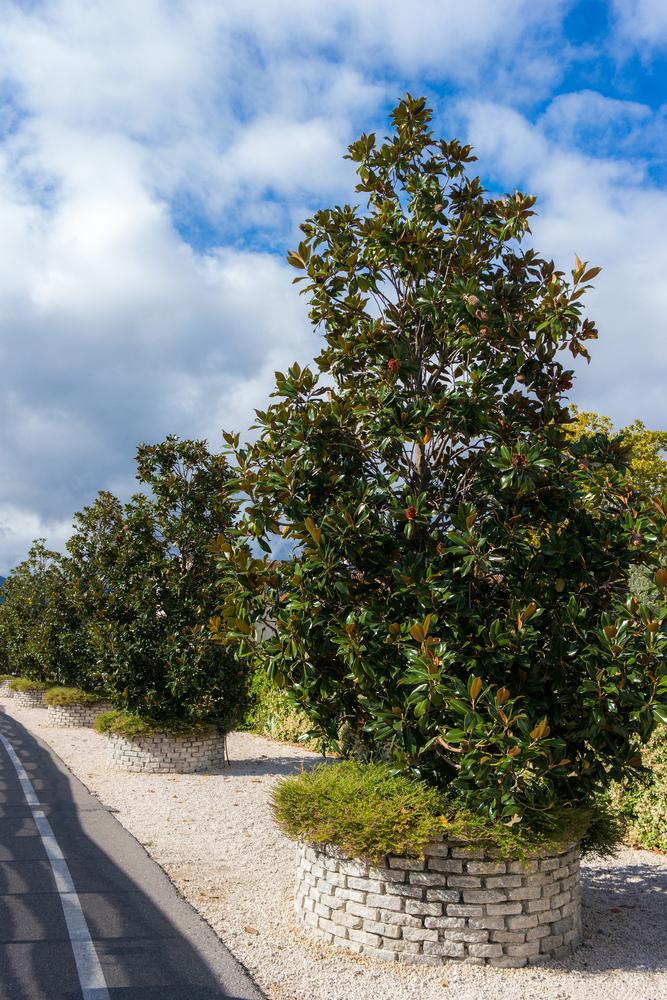 Planter le Magnolia Grandiflora dans le jardin