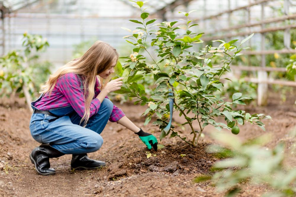Planter le tilleul