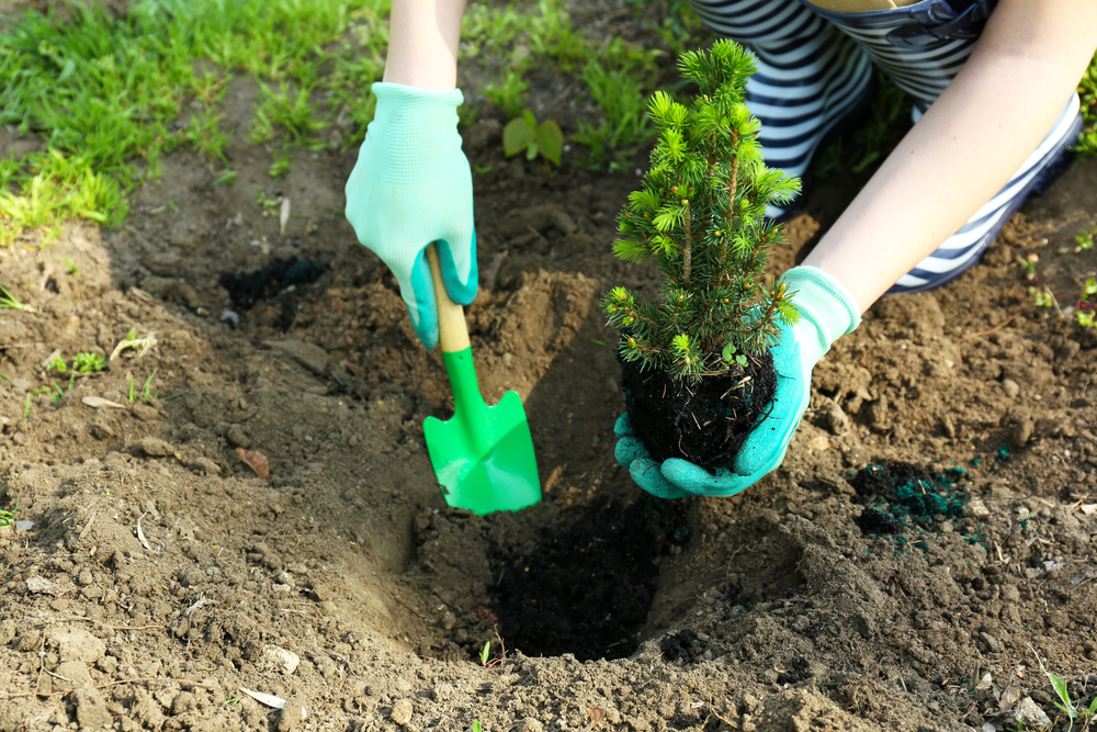 Comment planter un conifère dans le jardin
