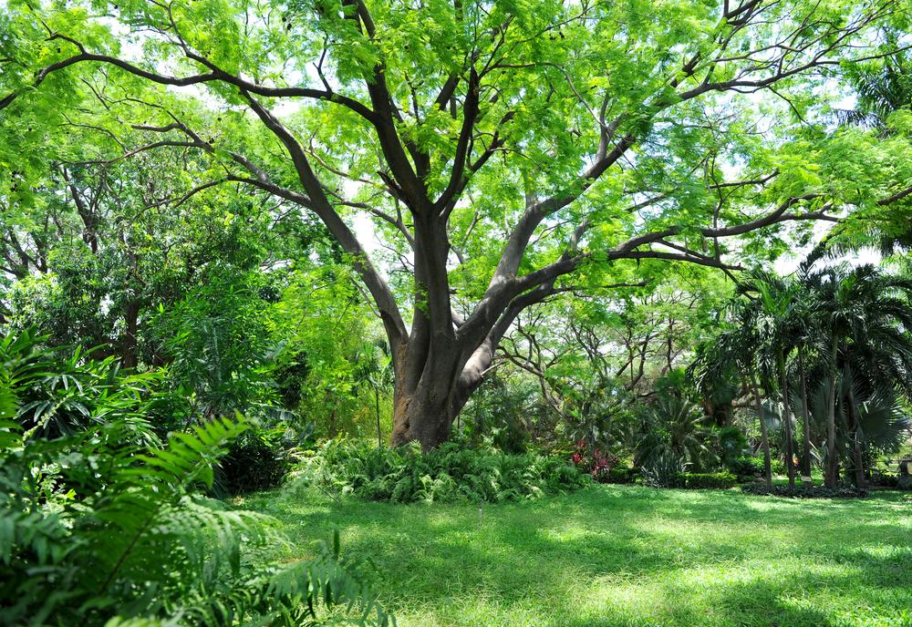 Grand arbre botanique au milieu du jardin