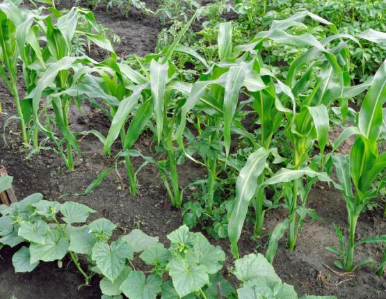 Disposition des légumes dans le jardin pour réussir la mise en place de la technique des 3 sœurs