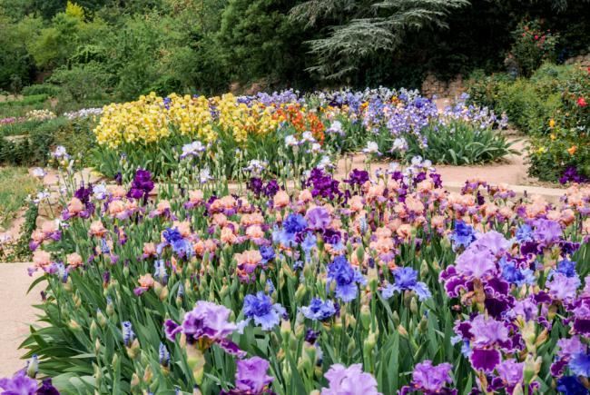 Beau jardin d'iris