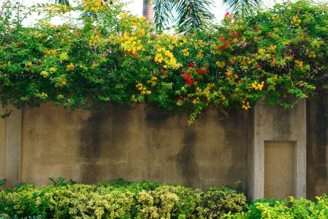 Bougainvilliers jaune et orange grimpant sur la clôture
