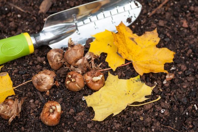 Bulbes conservés prêts à planter