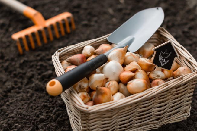 Bulbes de tulipes stockés nettoyés et préparés pour une future plantation