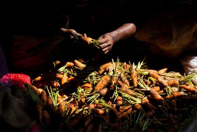 Carottes récoltées pour être conservées