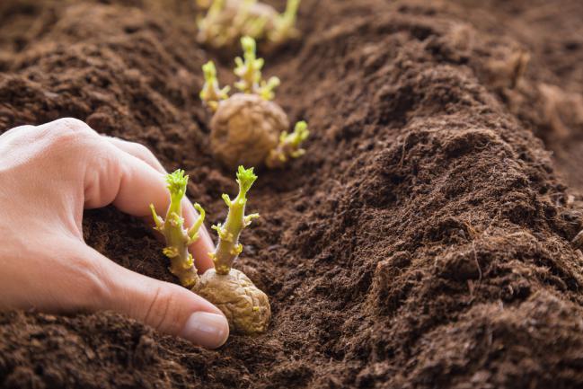 Comment planter la pomme de terre