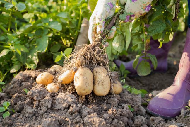Comment récolter la pomme de terre