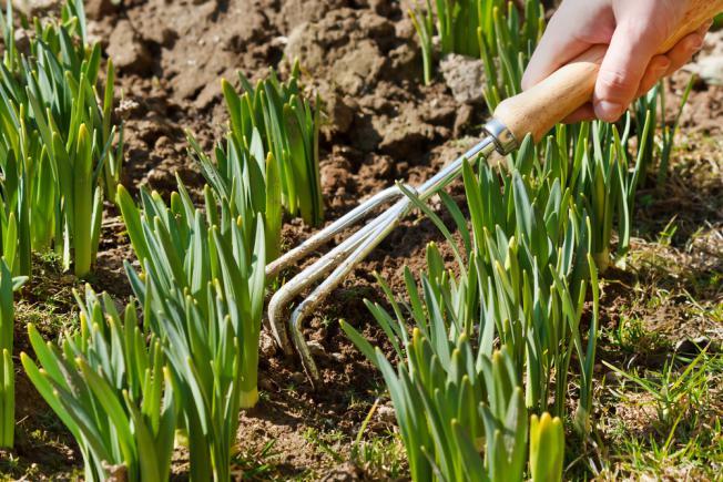 Comment s'occuper d'un jardin de tulipes