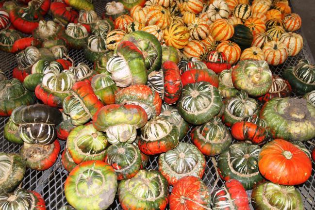 Courges récoltées et empilées sur des casiers spéciaux dans la pièce destinée à leur conservation