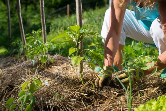 Couvrir les jeunes plants avec de la paille pour contrôler les protéger