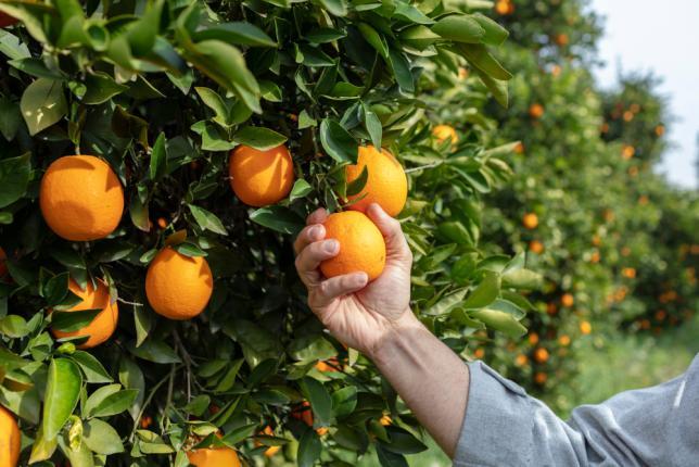 Cueillir des oranges