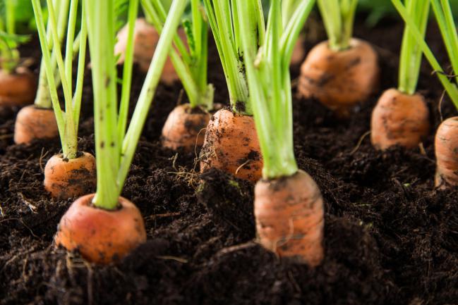 Cultiver des carottes