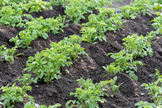 Cultiver des pommes de terre dans le jardin