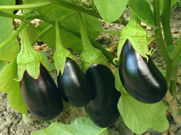 Cultiver ses propres aubergines