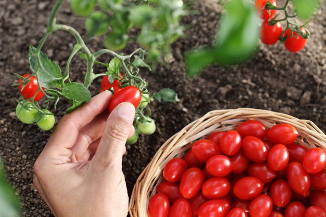 Cultiver la tomate dans le jardin