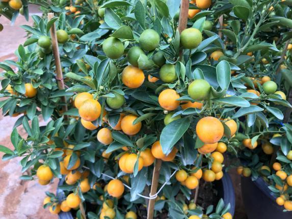 Culture oranger sur pots