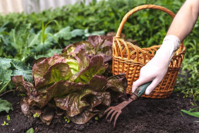 Désherber la salade dans le jardin