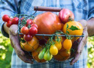 Différentes espèces de tomate récoltées