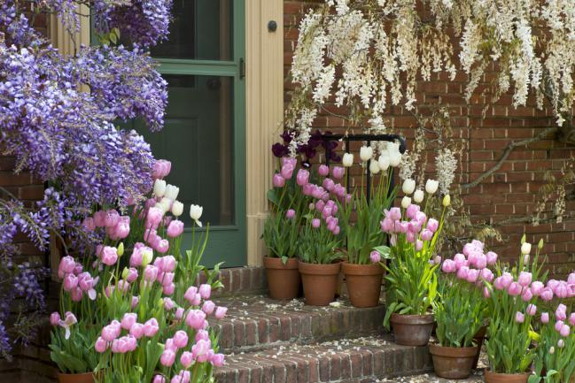 Entrée de maison ornée de glycine et de tulipes
