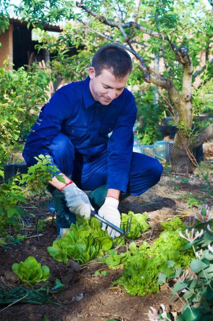 Entretenir la salade dans le jardin