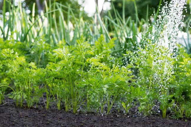 Entretien des carottes dans le jardin