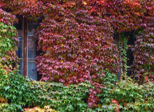 Facade couverte de vigne verte en automne