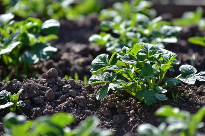 Faire pousser des pommes de terre dans le jardin