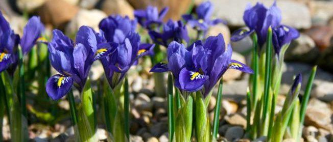 Fleurs d'iris - bulbes d'été