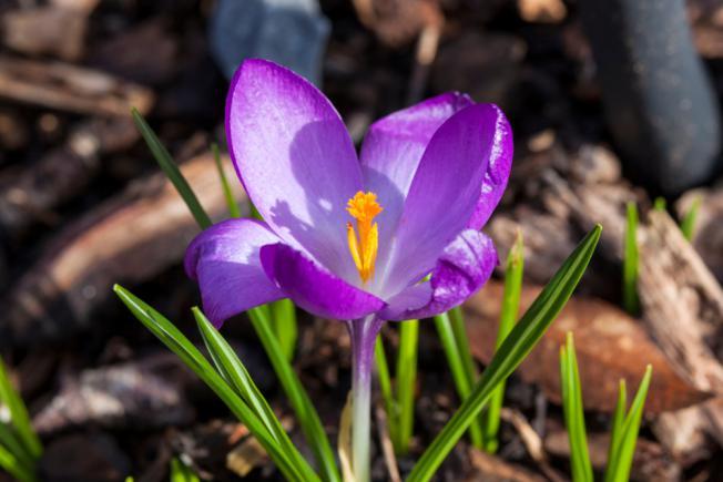 Floraison de Crocus tommasinianus