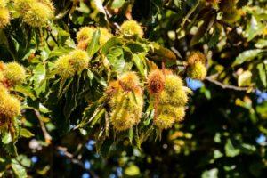 Fruits de châtaigner