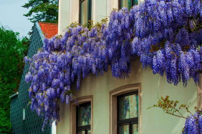 Glycine grimpant sur la façade de la maison
