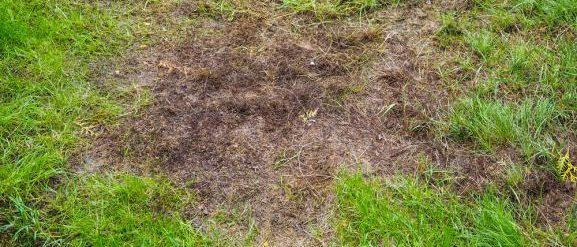 Herbe dégarnie par la mousse apres l'hiver