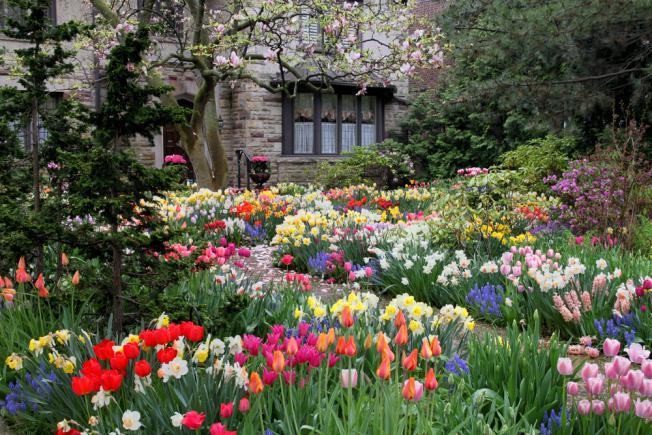 Jardin de tulipes fleuries à l'entrée de la maison