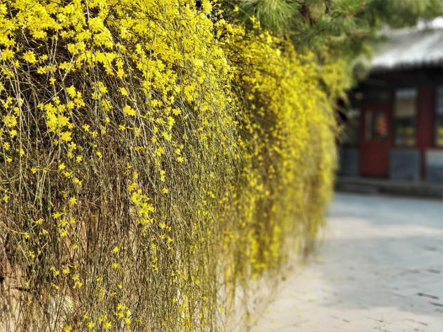 Jasminum nudiflorum (jasmin d'hiver)