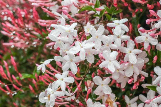 Jasminum polyanthum rose et blanc grimpant